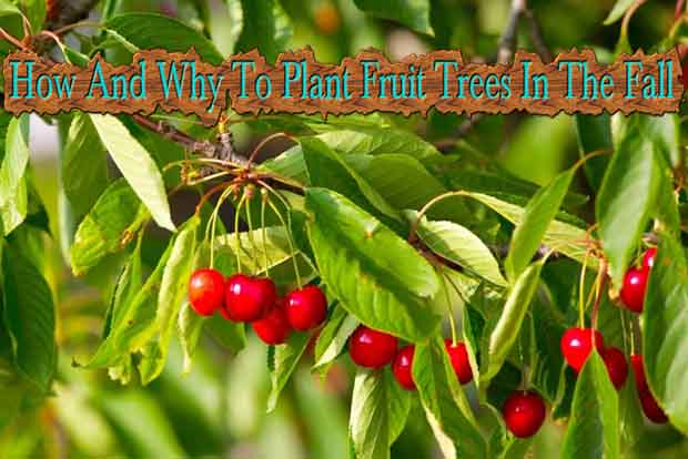 How and why to plant fruit trees in the fall lil moo creations - Planting fruit trees in autumn ...