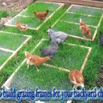 How to build grazing frames for your backyard chickens