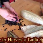 How to Harvest a Luffa Sponge