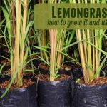 Lemongrass – How to Grow It and Use It