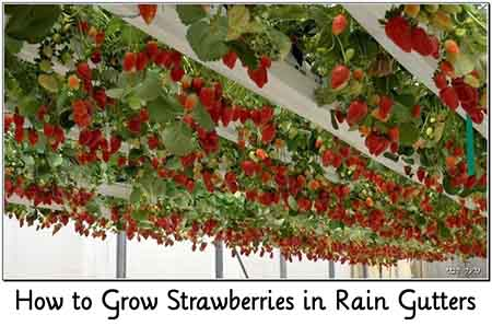 how to grow strawberries in gutters