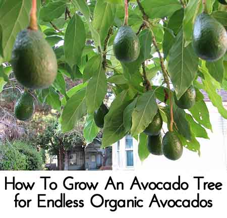 How to grow an avocado tree for endless organic avocados for How do you grow an avocado seed
