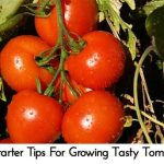 10 Starter Tips For Growing Tasty Tomatoes
