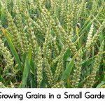 Growing Grains in a Small Garden