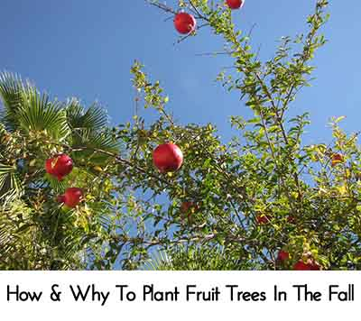 How why to plant fruit trees in the fall lil moo creations - Planting fruit trees in autumn ...