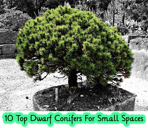 Trees For Small Spaces: 10 Top Dwarf Conifers For Small Spaces