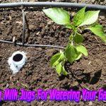 Using Milk Jugs For Watering Your Garden
