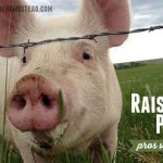 Raising Pigs: Pros and Cons