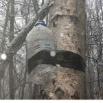 Tapping Birch: Collecting birch sap for mineral water, wine, beer, vinegar and syrup
