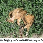 DIY Pets: Delight your Cat and Add Catnip to your Garden!