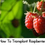 How To Transplant Raspberries