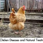 Top Chicken Diseases and Natural Treatments