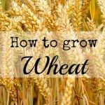 How to Grow Wheat