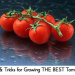 Tips & Tricks for Growing THE BEST Tomatoes