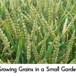 Growing Grains in a Small Garden