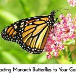 Attracting Monarch Butterflies to Your Garden