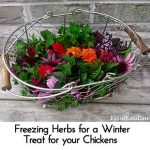 Freezing Herbs for a Winter Treat for your Chickens