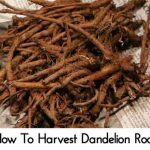 How To Harvest Dandelion Root