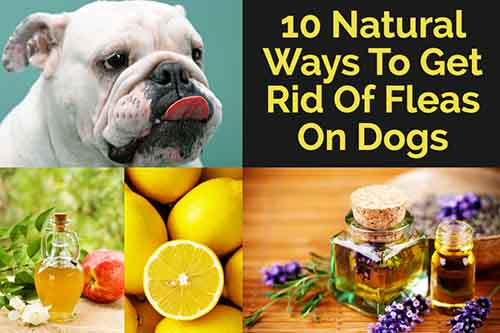 10 Natural Ways To Get Rid Of Fleas On Dogs