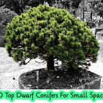 10 Top Dwarf Conifers For Small Spaces