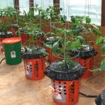 How To Grow Tomatoes in a Bucket
