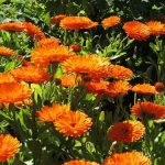 20 Most Fragrant Herbs & Flowers For An Aromatic Garden