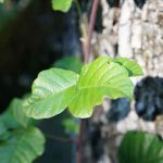 Home remedies for Poison Ivy and Poison Oak